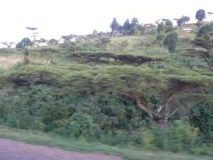 Acacias africanas.